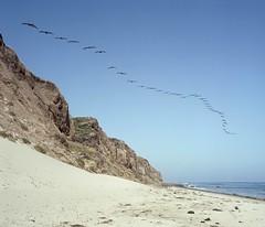 38 pelicans (ADMurr) Tags: california coast cliff 38 pelicans rolleiflex e f35 zeiss planar tlr crop 6x7 kodak ektar dbb027