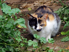 Cat Relaxing. (dccradio) Tags: mountairy mtairy md maryland frederickcounty cat feline kitty meow animal domesticcat pet barncat calico june summer monday mondayafternoon afternoon goodafternoon
