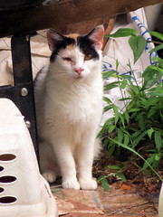 Keeping An Eye On Things. (dccradio) Tags: mountairy mtairy md maryland frederickcounty cat feline kitty meow animal domesticcat pet barncat calico june summer monday mondayafternoon afternoon goodafternoon
