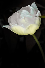 Double White Tulip_42 (pixquik) Tags: white flower tulip whiteflowers domesticflowers green greenandwhite traversecity michiganusa