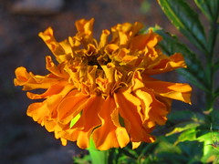 IMG_7057 6-13-2019 (PGK88) Tags: marigold orange plant garden flower blooming macro closeup nature blossom bloom sunlight sunlit 2019 petals