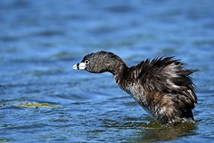 Pied-billed Grebe (kevinwg) Tags: piedbilled grebe piedbilledgrebe bird water waterfowl