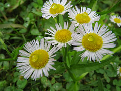 Fleabane Daisies With Raindrops. (dccradio) Tags: mountairy mtairy md maryland frederickcounty fleabanedaisy fleabanedaisies greenery grass lawn ground flower flowers weeds monday afternoon june summer summertime mondayafternoon goodafternoon canon powershot elph 520hs floral