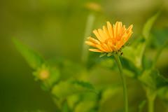 Sunny (Eric Tischler) Tags: flower yellow warm sunny sun ohio