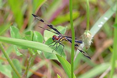 A Cooper Hollow Banded Pennant Dragonfly (Eat With Your Eyez) Tags: banded pennant dragonfly dragonflies insect bug animal odonata odonate wing wings fly flying beautiful nature outdoors spring water park weeds plant plants panasonic fz1000