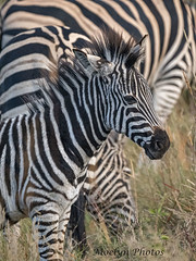 Baby Zebra Vertical (moelynphotos) Tags: zebra younganimal foal striped blackandwhite colorphotograph animalwildlife animalsinthewild africa southafrica limpopoprovince cute moelynphotos