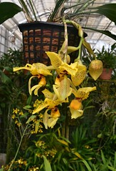 Not mellow yellow (lauren3838 photography) Tags: plant greenhouse yellow colorful color garden botanical denver orchid d750 nikon flower ilovenature nature colorado