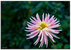 Dahlia Flower (Bear Dale) Tags: dahlia flower nikon d850 nikkor afs 2470mm f28e ed vr ulladulla southcoast new south wales shoalhaven australia beardale lakeconjola fotoworx milton nsw nikond850 photography framed nature flores fleurs bokeh green petals petal pink
