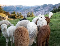 Alpacas at Saqsaywaman, Peru (swmartz) Tags: nikon nature peru june 2019 cusco saqsaywaman incas ruins alpacas wildlife animal