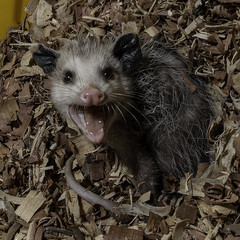 Opossum_SAF3720-1 (sara97) Tags: didelphimorphia animal copyright©2019saraannefinke marsupial missouri nocturnal opposum photobysaraannefinke saintlouis