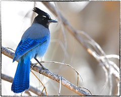 Steller's Jay (RKop) Tags: chiricahuamountains chiracahuamountains arizona raphaelkopanphotography d500 600mmf4evr 14xtciii