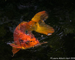 20190613Koi Pond Fun 28611-Edit (Laurie2123) Tags: encinitas fujixt2 fujinon55200mm koi laurieturnerphotography laurietakespics laurie2123 odc ourdailychallenge selfrealizationfellowship fish pond