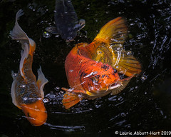 20190613Koi Pond Fun 28624-Edit (Laurie2123) Tags: encinitas fujixt2 fujinon55200mm koi laurieturnerphotography laurietakespics laurie2123 odc ourdailychallenge selfrealizationfellowship fish pond