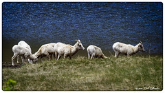 Thirsty Sheep (Bob Shrader) Tags: olympusem1markii olympus50200mmf2835 274mm f67 13200sec 1600iso colorado nature animals sheep rockymountainbighornsheep water lake sheepslakes plant grass landmarks parks rockymountainnationalpark northamerica unitedstatesofamerica america us unitedstates usa em1markii olympusomdem1ii omdem1markii microfourthirds m43 mirrorless raw adaptedlens olympuszuikodigitaled50200mmf2835swd adaptedfourthirds fourthirdsmountlens olympus50100mmf2835 ec202xteleconverter adapter olympusfourthirdsadaptermmf3 telephoto landscape wildlife shallowdof bokeh on1 photoraw2019 photoborder photoedge photoframe postprocessing preset