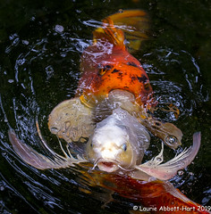 20190613Koi Pond Fun 28603-Edit (Laurie2123) Tags: encinitas fujixt2 fujinon55200mm koi laurieturnerphotography laurietakespics laurie2123 odc ourdailychallenge selfrealizationfellowship fish pond