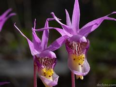 Venus Slipper Orchids (Calypso) (David R. Crowe) Tags: angiosperm angiosperms calypso colour energy fairyslipperorchid floweringplant light nature orchidaceae plant purple venusslipperorchid kananaskis ab canada