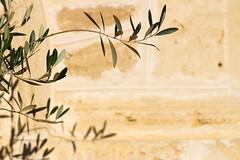Olive (.Stephen..Brennan.) Tags: fa77 fremantle pentax pentaxk3 perth westernaustralia australia