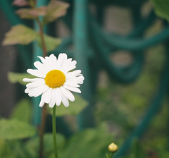daisy (annapolis_rose) Tags: flower daisy whiteflower garden