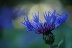 Centaurée (Patrice StG) Tags: pentaxm50mm14 a7ii sony bokeh fleur flower vintagelens vintage québec printemps spring boisdecoulonge gimp blue bleu dusk crépuscule