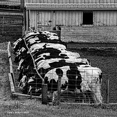 Table for 24!   ..... HFF (jackalope22) Tags: hff cows bw fence cattle moo patches