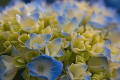 Hydrangea (macromerriment) Tags: hydrangeamacrophylla'bailmer'endlesssummer hydrangea macrophylla 'bailmer' endlesssummer yellow buttery blue macro backyard nature flower garden bloom blossom outdoors outside blueandyellow