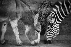 Like twins (mgschiavon) Tags: blackandwhite blackwhite bw animal portrait zoo california
