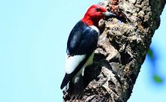 red-headed woodpecker at Lake Meyer Park IA 653A8562 (naturalist@winneshiekwild.com) Tags: redheaded woodpecker lake meyer park winneshiek county iowa larry reis