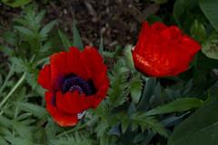 Poppy Pair (brucetopher) Tags: orange poppy red poppies flower garden gardens crinkle bloom open opening blooming crinkly spring flowers memorial remember rememberance