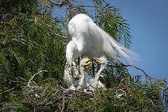 Say I'm Next Or I'll Nip Your Neck (Don Dunning) Tags: ardeaalba birds california canon7dmarkii canonef100400mmisiiusm egret greategret lakeshorepark newark