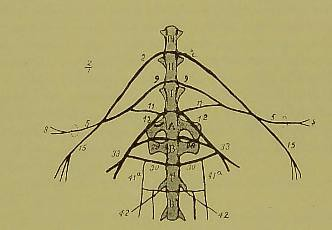 This image is taken from Saggio di anatomia segmentale. La metameria somatica, nervosa, cutanea e muscolare dei vertebrati [electronic resource]