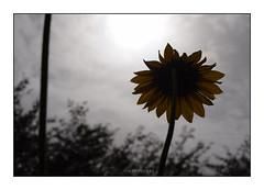 Sunflower at Sunrise (mkumar.photographer001) Tags: