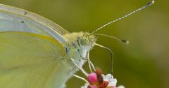 Butterfly . . #macro #macrophotography #macrophotographylove #macrophoto #macroshot #macronature #macro_highlight #macros #macrolife #amazing #photooftheday #butterfly # (m4rc01cs) Tags: photooftheday macro amazing macros macronature macrophoto macrophotography butterfly macrohighlight macrolife macroshot macrophotographylove