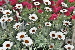 White Flowers (Bri_J) Tags: rhs chatsworthflowershow2019 chatsworthhouse edensor derbyshire uk chatsworth flowershow nikon d7500 hdr white flowers daisy