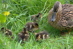 Small duck family (Tony Worrall) Tags: preston lancs lancashire city welovethenorth nw northwest north update place location uk england visit area attraction open stream tour country item greatbritain britain english british gb capture buy stock sell sale outside outdoors caught photo shoot shot picture captured ilobsterit instragram photosofpreston ashtononribble ashton birds nature wild wildlife fowl baby small young duck ducklings cute