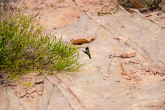 Hummingbird in the Valley of Fire State Park (grand Yann) Tags: amerique usa nevada nature oiseaux animaux valleyoffire america animal bird overton étatsunis