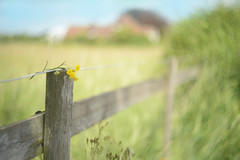 Happy Fence Friday... #HFF #HappyFenceFriday (KissThePixel) Tags: hff happyfencefriday happyfriday friday fridaytheme fence fencephotography woodenfence fencebokeh macro landscape field cornfield corn dandelion flower yellowflower gold golden nikon nikondf helios helios44m4 44m4 58mm f2 bokeh focus
