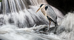 Patience (captures.in.time) Tags: wildlife wildlifephotography bbc springwatch bbcspringwatch nationalgeographic ngm ngc hide fishery scotlands highlands rspb rspbscotland grey heron stork river fishing fisher fish le longexposure nature bird birdphotography relax fun stress relief naturephotography