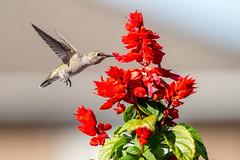 Hummingbird (Warp Factor) Tags: backyard canont4i hummingbird spring2019 tamron70200f28 flowers salvia 14000