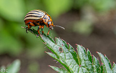 Kevertje/Beetle (truus1949) Tags: tuin insect bladeren natuur