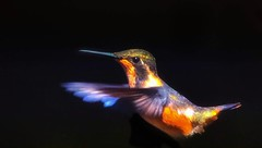 Rufous hummingbird in flight (elnina999) Tags: hummingbird bird exotic colorful plumage black background close up tiny wing wildlife throat orange red selasphorus rufus avian beak colibri feather ornithology nature fauna tropical googlepixel mobilephotography