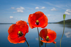 three poppies (koaxial) Tags: f6013694a koaxial brombachsee lake water mirror spiegelung reflection poppies three red intense flower summer june juni 2019 light licht sun foreground blossom blüten floral