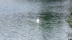 Le lac du cygne (bernard.bonifassi) Tags: bb088 06 alpesmaritimes 2019 juin printemps canonpowershotsx60hs counteadenissa cygne lac lacdubroc oiseau palmipéde valléeduvar