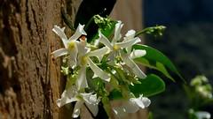 Jasmin étoilé (bernard.bonifassi) Tags: jasminetoile bb088 06 alpesmaritimes 2019 juin printemps canonpowershotsx60hs counteadenissa fleur