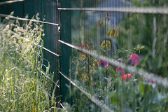 HappyFenceFriday (jillyspoon) Tags: happyfencefriday fencefriday fence flowers perspective greenfence hff sony sonya7iii sonyalpha dof depthoffield
