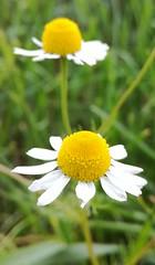 (Anna Folcker) Tags: blomma flower vit white
