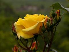 Rosa (François dt) Tags: canon 6dmarkii canon6dmarkii nature flower gardenflower