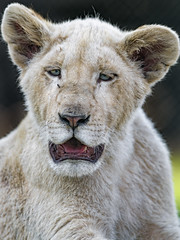 White cub with open mouth (Tambako the Jaguar) Tags: lion big wild cat white young cub portrait close face cute openmouth looking funny lionsafaripark johannesburg southafrica nikon d5