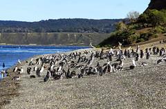 pinguinera-isla-martillo (travel_expert) Tags: ushuaia