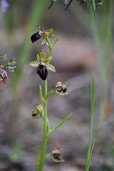 Orquídeas en Torreciudad (esta_ahi) Tags: huesca flor flora flores silvestres orquídea orquídeas orchidaceae ophrysgrsphegodes ophrys sphegodes torreciudad laribagorza aragón spain españa испания