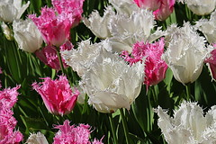 Pink and White Tulips (abrideu) Tags: abrideu canoneos100d tulip pink white depthoffield bright bokeh flowers keukenhof holland garden park ngc npc